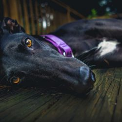 1dark-greyhound-laying-on-floor