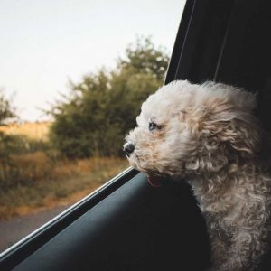 aa1-dog-in-car-looking-out