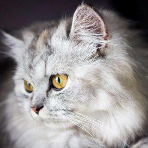 lovely-cat